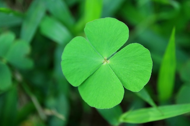 Luck Abounds If You Do Find A Four Leaf Clover Royal Examiner
