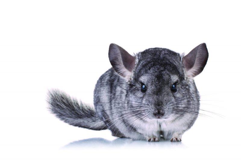 4 Reasons Chinchillas Make Great Pets Royal Examiner
