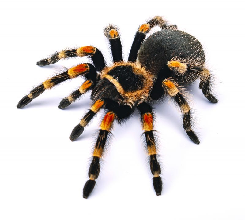 Adopting A Tarantula What You Need To Know Royal Examiner